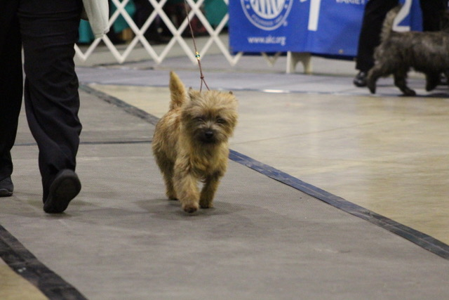 Highlights of the 2019 Kennel Club of Beverly Hills Dog Show & Great Western Terrier Specialties (March 1-3)