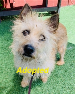 Cairn Terrier Available for Adoption!
