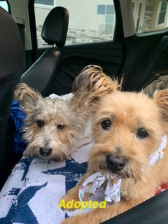 Cairn Terrier's Available for Adoption!